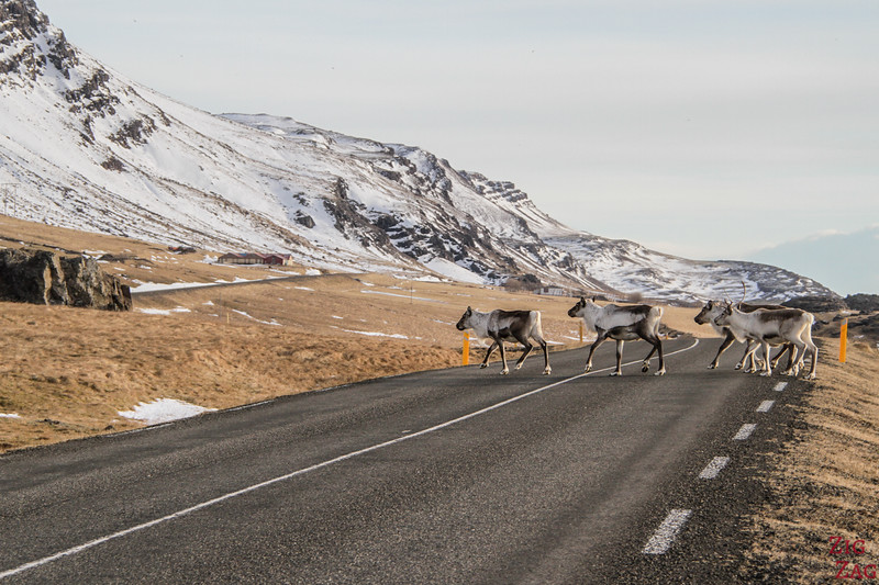 Reindeer in the Iceland East Fjords in Winter