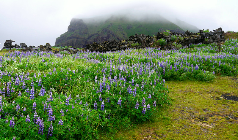Iceland (Westman Island), June 2014, Overseas Adventure Travel (OAT) trip.<br /> Purple Lupins in the foreground with lava rocks in the background.