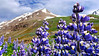 Iceland, June 2014, Overseas Adventure Travel (OAT) trip.<br /> On the way back to Akureyri we stop along the highyway for some pictures with the Lupine on the foreground.