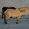 Another Icelandic horse. They are said to be a very gentle breed.