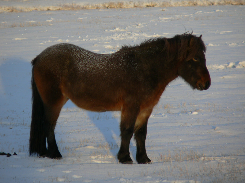 A very typical Icelandic horse. They are about pony size.