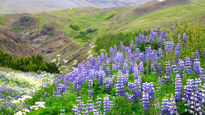 Mt. Esja hike near Rekyjavik first day I arrived. There are more lupines in Iceland than I've ever seen!! They cover whole fields across the country.