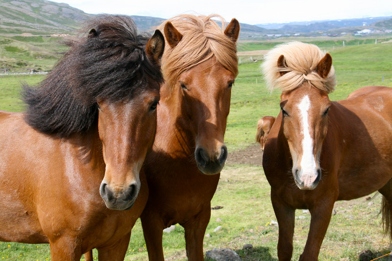 Icelandic horses are very special, and their integrity protected by not allowing horses to come into the country. Once one leaves, it cannot return. They are smaller and don't spook easily and have a trot like no other.