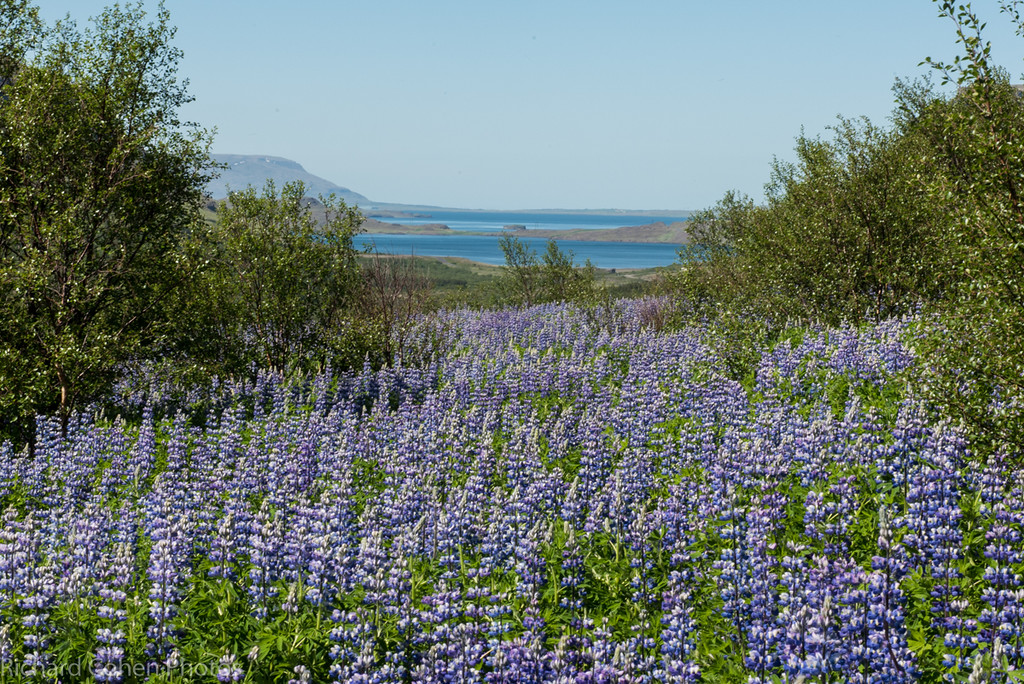 The lupine series...