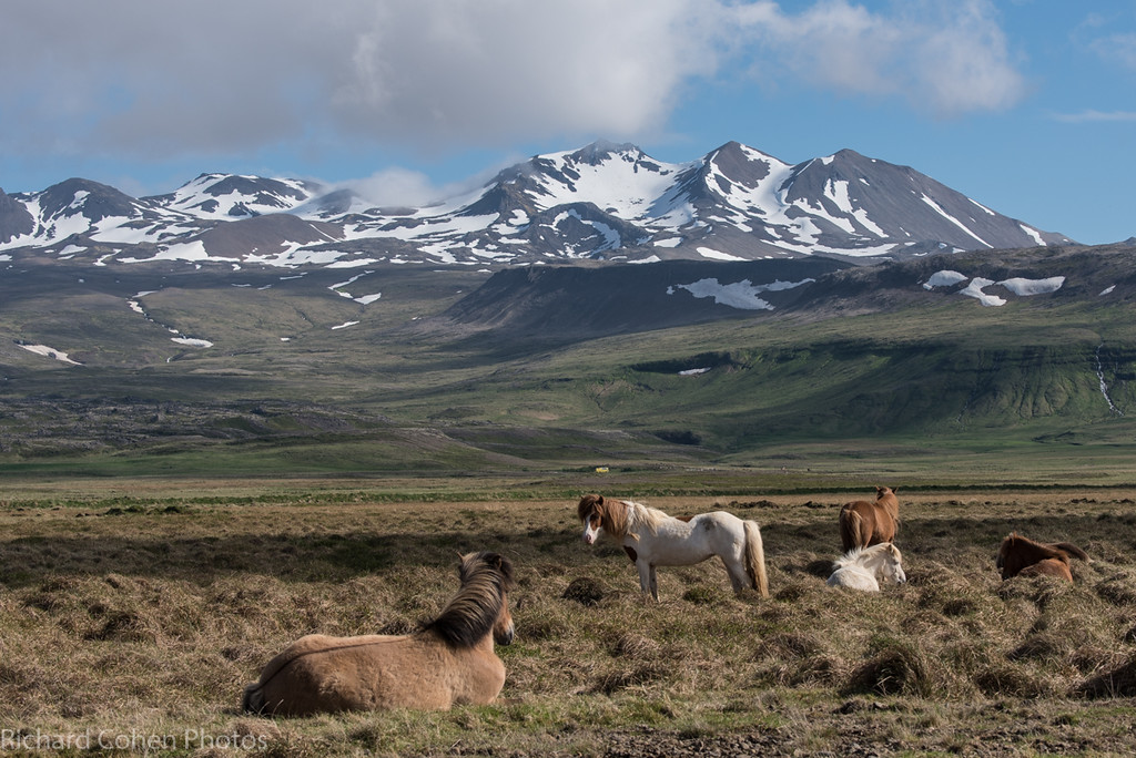 Icelandic horses along the side of the road, enjoying the scenery. These horses are highly sought after in equestrian circles around the globe for their unique gate.