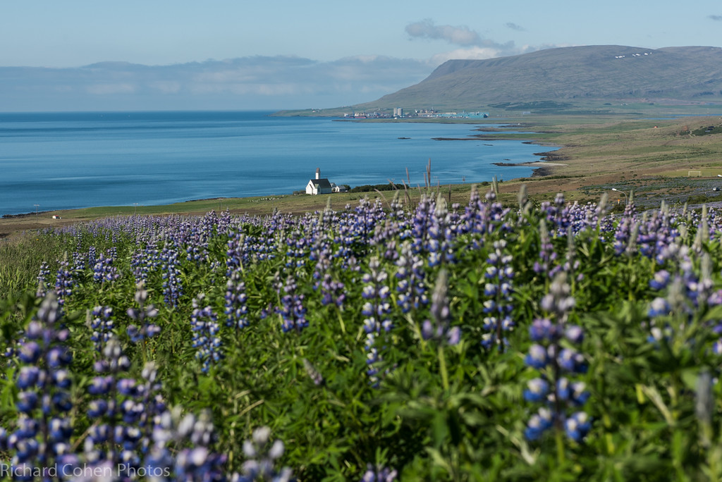 The lupine was everywhere in Iceland...along the coast, in the mountains, near glaciers...