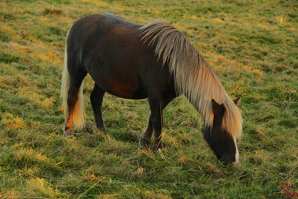 Icelandic horses haircut photo 3