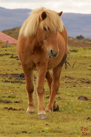 Majesctic Icelandic horses photo 3