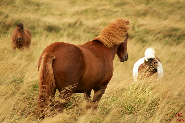 Icelandic horses in their surroundings photo 1