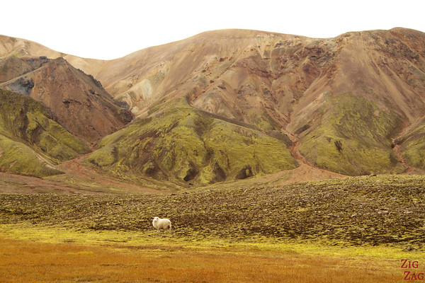 Sheep near Landmannalaugar Iceland