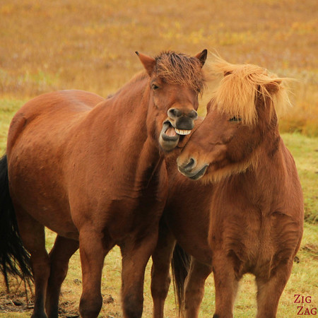 Funny shot of icelandic horses photo 1