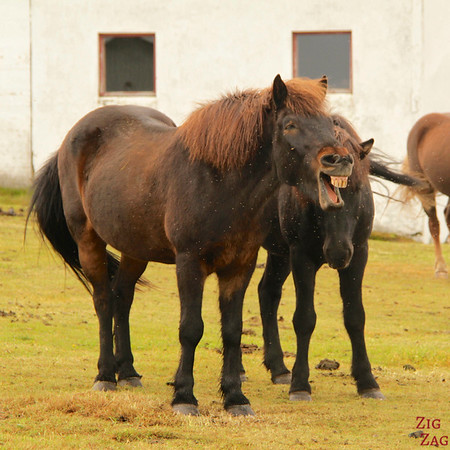 Funny shot of icelandic horses photo 3