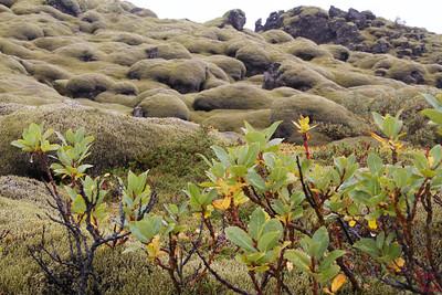 Mossy Lava field