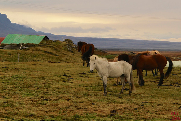 Icelandic horses in their surroundings photo 2