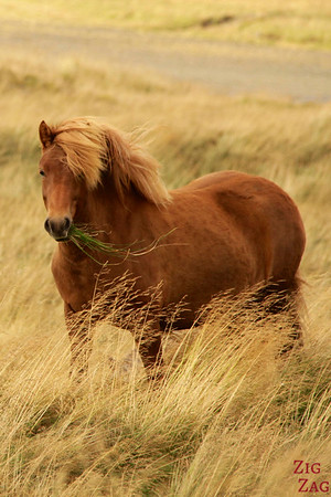 Majesctic Icelandic horses photo 1