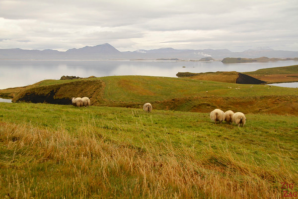Sheep near the Myvatn pseudo-craters Iceland