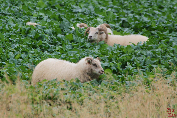 Sheep everywhere in Iceland photo 2
