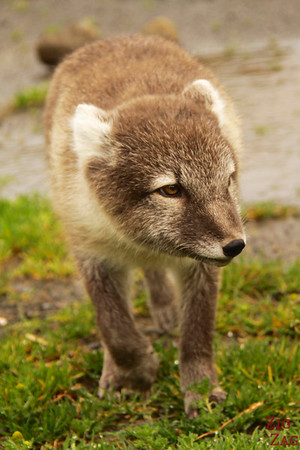 polar fox Iceland photo 3