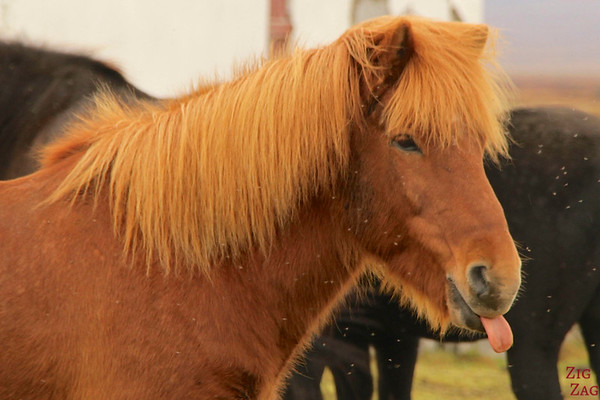 Funny shot of icelandic horses photo 2
