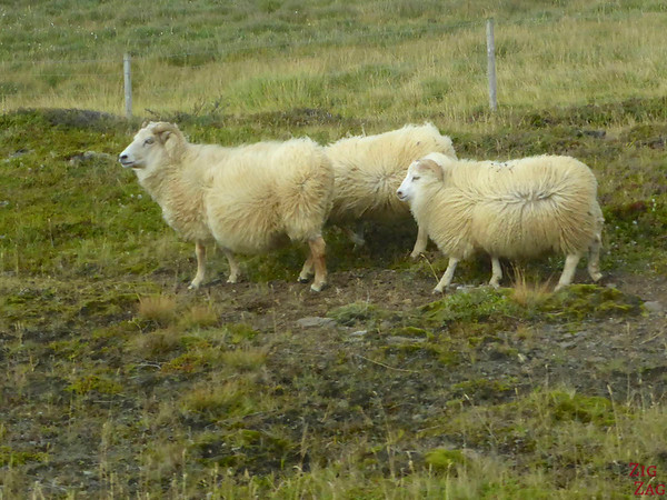 Sheep road danger in Iceland photo 1