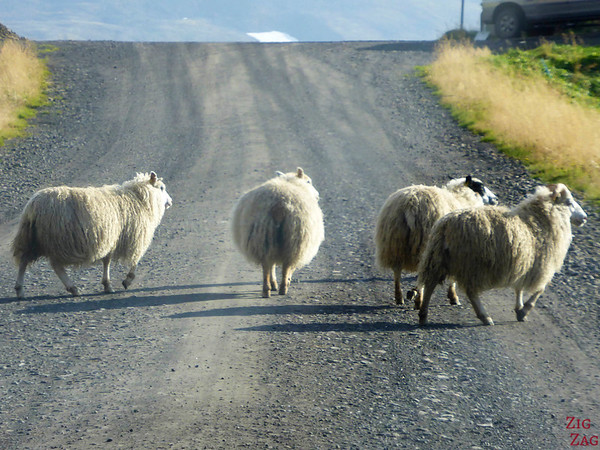 Sheep road danger in Iceland photo 3