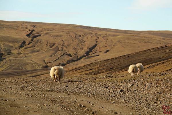 Sheep everywhere in Iceland photo 3