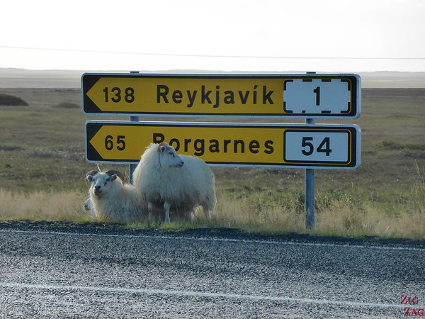 Sheep road danger in Iceland photo 2