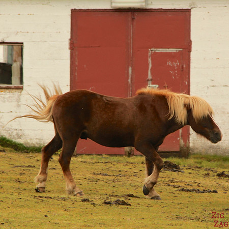 Icelandic horses haircut photo 2