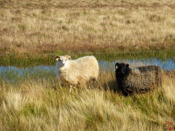 White and black Icelandic sheep
