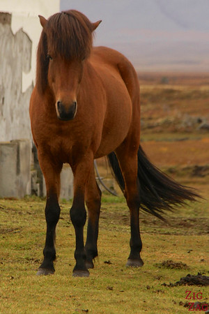Majesctic Icelandic horses photo 2