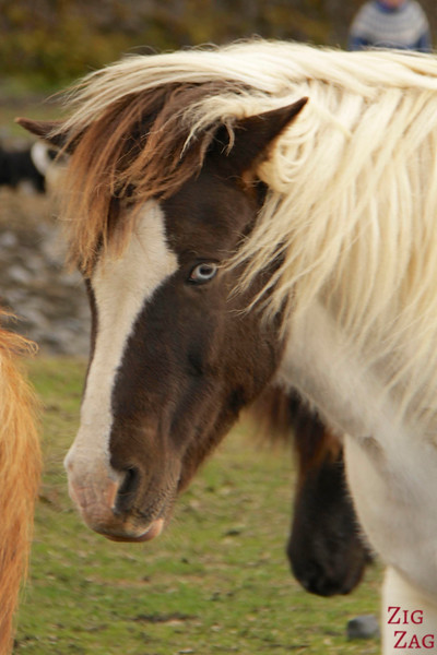 Icelandic horses variety photo 1