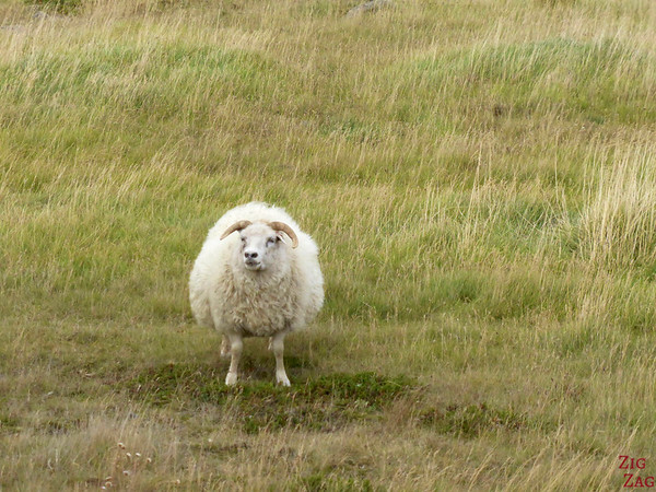 Sheep everywhere in Iceland photo 1
