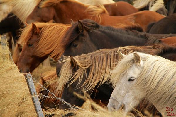 Icelandic horses variety photo 2