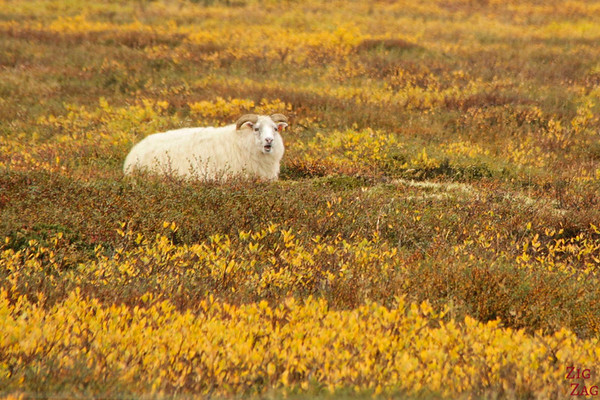 Sheep everywhere in Iceland photo 4