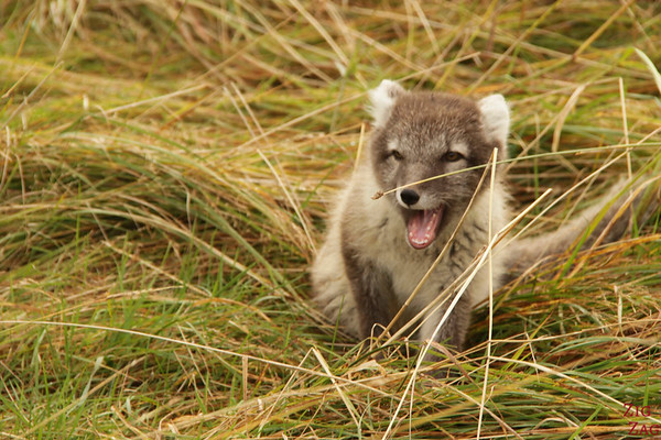 polar fox Iceland photo 7