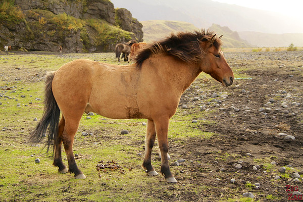 Icelandic horses in their surroundings photo 4