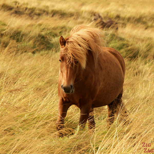Islande en Photos - Chevaux Islandais