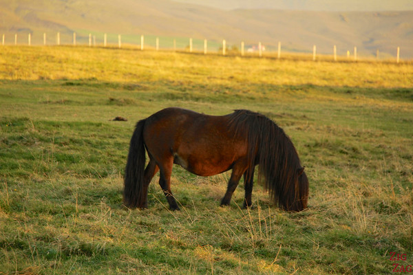 Icelandic horses haircut photo 1