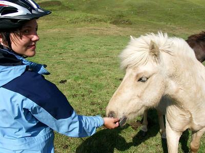 Cute icelandic ponies