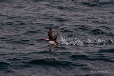 Flying Puffin in Iceland taking off