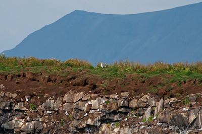 Nest Sea gull Puffin