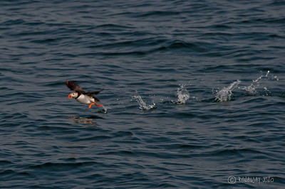 Flying Puffin in Iceland Running