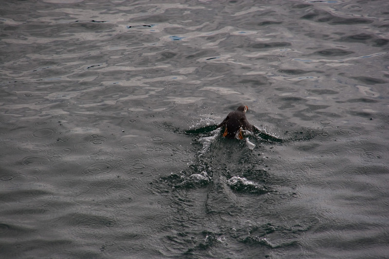 Puffin skimming the water