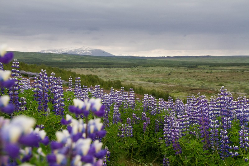 Lupin Flower Iceland