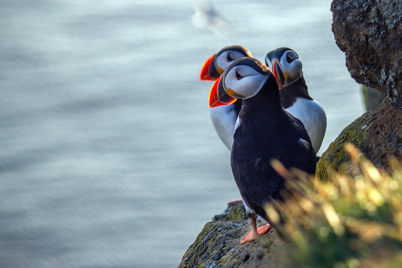 when to see puffins in Iceland