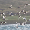 Arctic Terns (Sterna paradisaea)