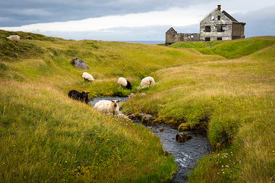 Grazing Sheep- Iceland