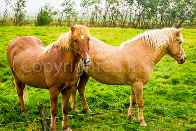 Icelandic horses, a separate breed