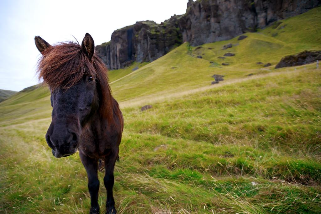 Icelandic Horse  ©2018  Janelle Orth
