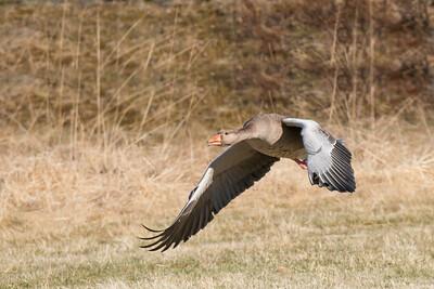 Thingvellir Greylag Goose